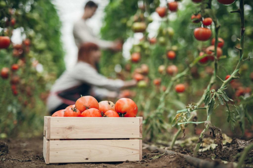 seguro de tomate