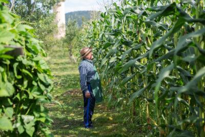 Veja quais cuidados necessários no plantio de milho para silagem